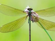 花苞上的绿蜻蜓高清图片