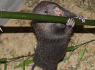 窝舍里吃竹的竹鼠图片