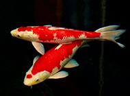 色彩斑斕的頂級日本錦鯉圖片