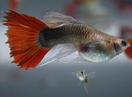 一个月的小孔雀鱼图片可爱动物