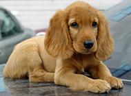 小可卡犬無辜撒嬌圖片分享