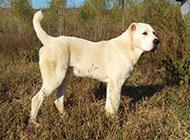 土耳其高贵血统的坎高犬图片