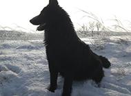 冀中黑熊犬雪地休息图片
