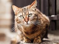 可爱狸花猫图片集锦