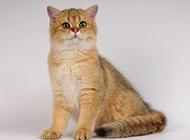 优雅美丽的黄英短猫图片