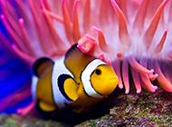 可愛迷人的公子小丑魚圖片