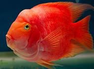 紅元寶鸚鵡魚超萌圖片欣賞