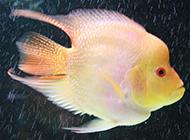 觀賞魚黃鸚鵡魚圖片欣賞