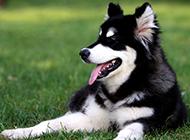 安靜的阿拉斯加犬成年圖片