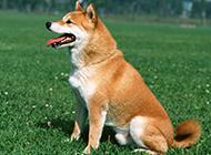 最新萌寵柴犬高清壁紙圖片
