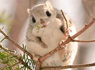 超可爱的小飞鼠图片大全