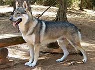 帥氣的捷克狼犬野外棲息圖片