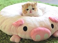 袖珍茶杯猫萌翻网友图片
