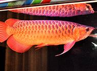 馬來西亞紅龍魚圖片欣賞