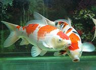 色彩豐富的日本錦鋰圖片