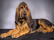 純種尋血獵犬慵懶寵物寫真圖片
