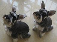 小型雪纳瑞犬玩闹图片