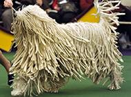 可蒙犬欢乐奔跑图片