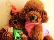 可爱泰迪犬超萌高清图片