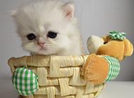 极品金吉拉猫图片样子可爱呆萌