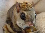 小鼯鼠棕足亞種圖片欣賞