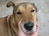 中華田園犬搞笑頭部圖片