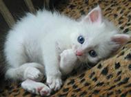 萌藍眼白貓幼崽圖片欣賞