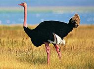 非洲鴕鳥草散步休閑圖片
