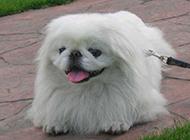 純種京巴犬頑皮吐舌圖片