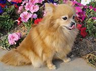 可愛狐貍犬春日公園玩耍圖片