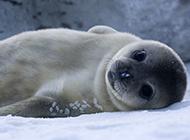 超萌北极竖琴海豹图片特写