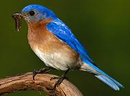 枝頭上的北美藍知更鳥圖片