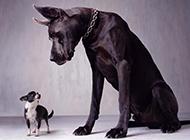 巨型黑色大丹犬帥氣特寫圖片