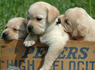 可愛萌寵拉布拉多幼犬壁紙