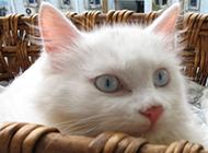 普通藍眼白貓的實拍圖片