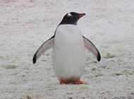 网友提供南极企鹅高清图片