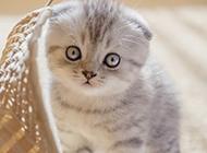 乖巧可愛的折耳貓圖片大全