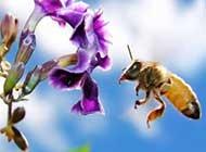 辛勤采蜜的小蜜蜂高清晰图片
