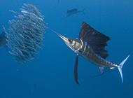 深海捕食的长剑鱼图片