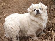 純白色小京巴犬野外散步圖片精選