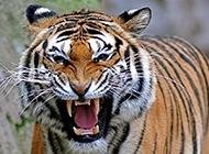 兇猛殘暴的孟加拉虎圖片大全