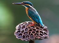 鳥類動物荊棘鳥圖片壁紙