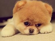 闷闷不乐的日本俊介犬图片