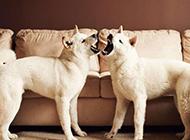 日本白色秋田犬呲牙咧嘴圖片
