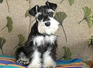 小型雪纳瑞犬可爱图片