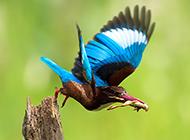我國珍稀鳥類荊棘鳥的圖片