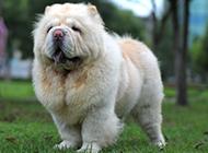 強壯有力的成年松獅犬圖片