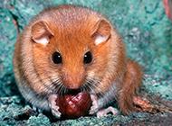 貪吃的睡鼠圖片