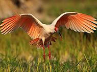 国家二级保护鸟类朱鹮高清图片