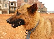 小型兇猛中華田園犬圖片